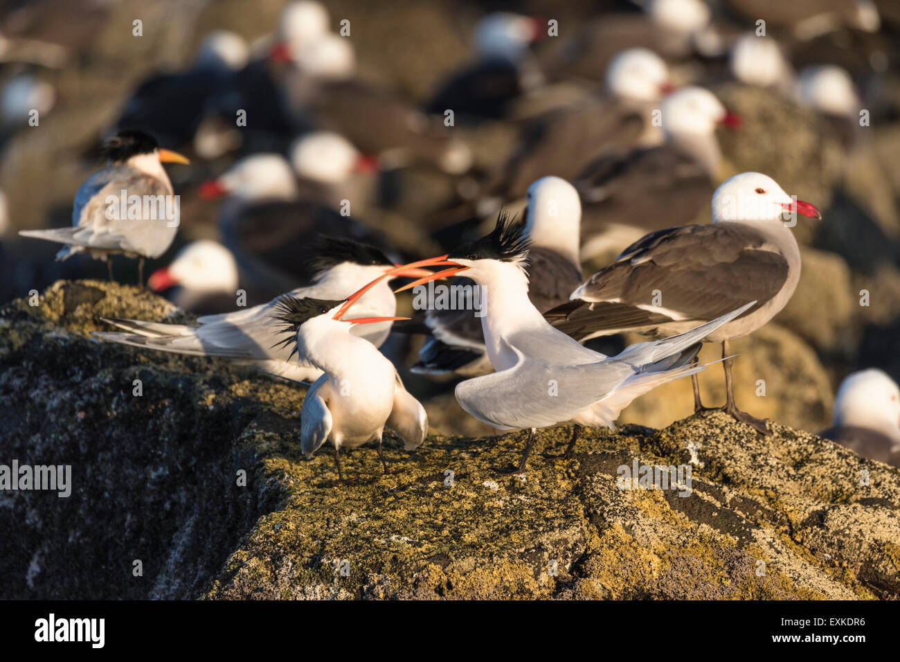 Two Elegant Terns squabble or court on a rocky shore in the afternoon light - Stock Image