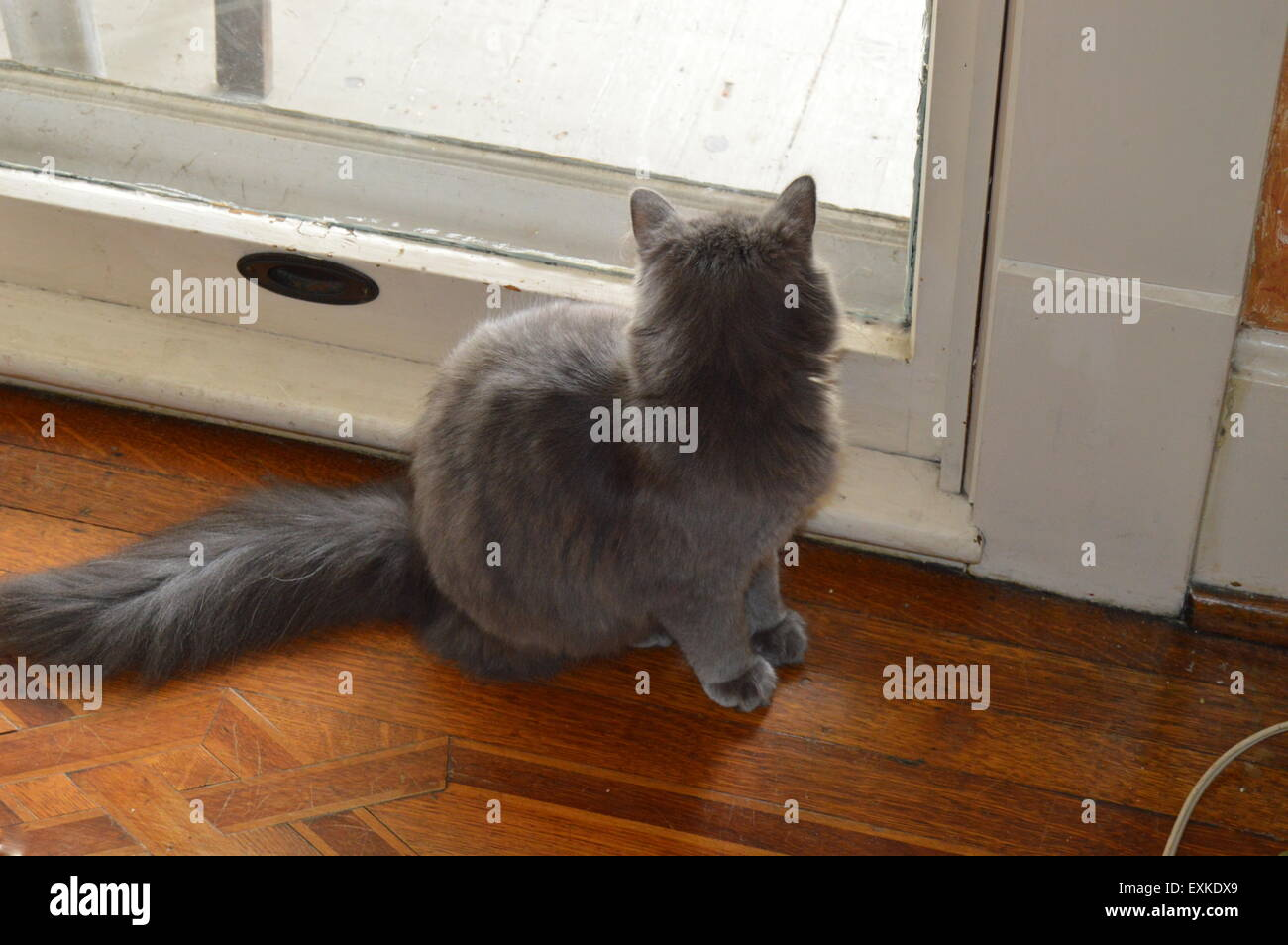 A Russian Blue Cat Watching Squirrels In Our Front Yard Stock Photo