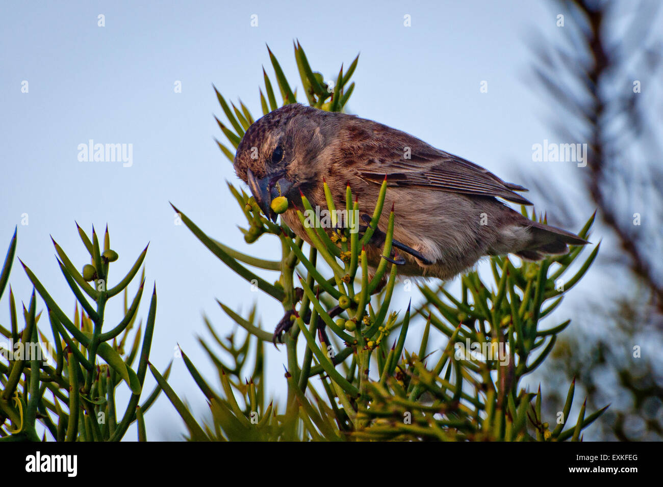 Darwin's finch in tree with seed, Galapagos Islands, Ecuador - Stock Image