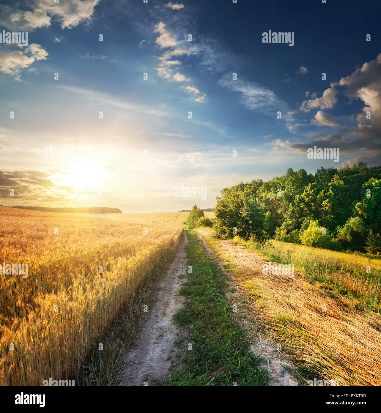 Field of wheat near the country road - Stock Image