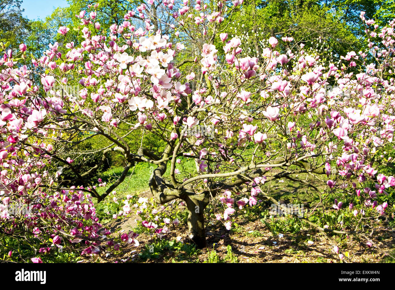 Southern Magnolia Tree Stock Photos & Southern Magnolia Tree Stock ...