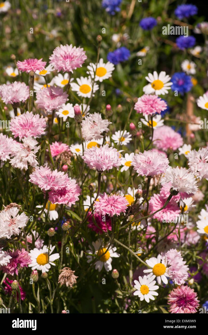 Wild English Cottage garden Flowers Stock Photo: 85262277 - Alamy