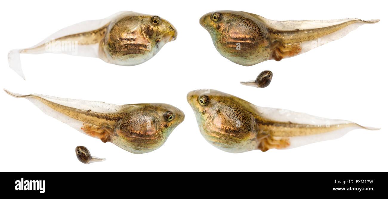 set of frog tadpoles close up isolated on white background - Stock Image