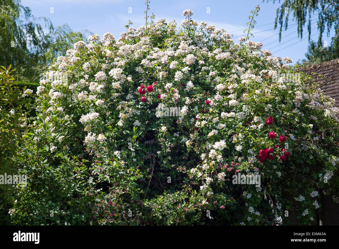Climbing rose 'Wedding Day' with red rose 'Danse de Feu' and pink Escallonia peeping through the - Stock Image
