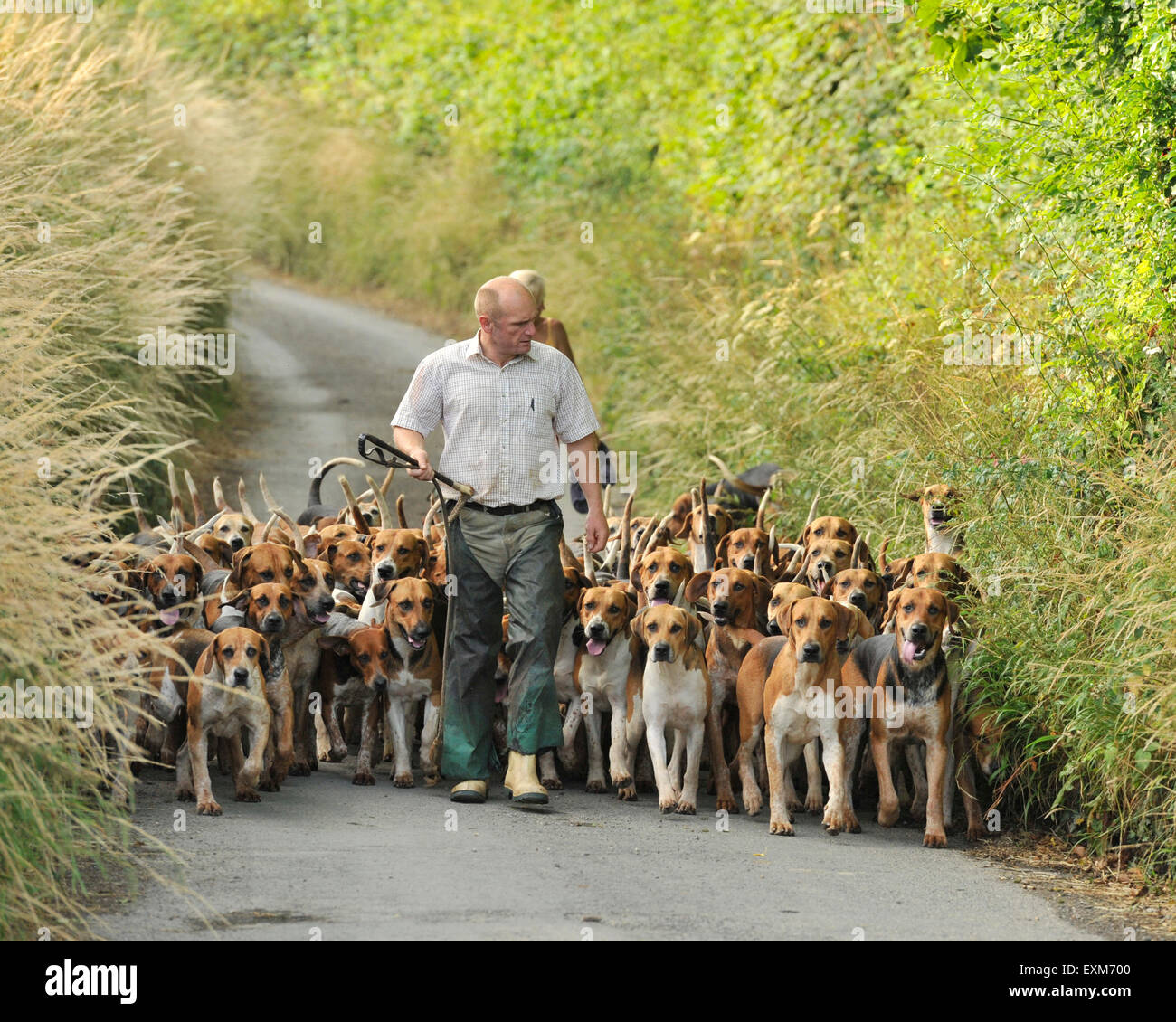 pack of hounds being exercised - Stock Image