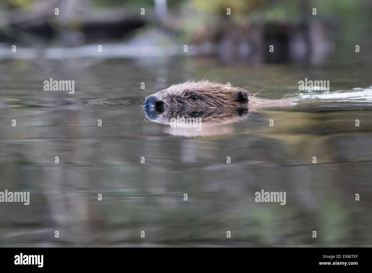 Wild Scottish Beaver from the Tayside Population - Stock Image