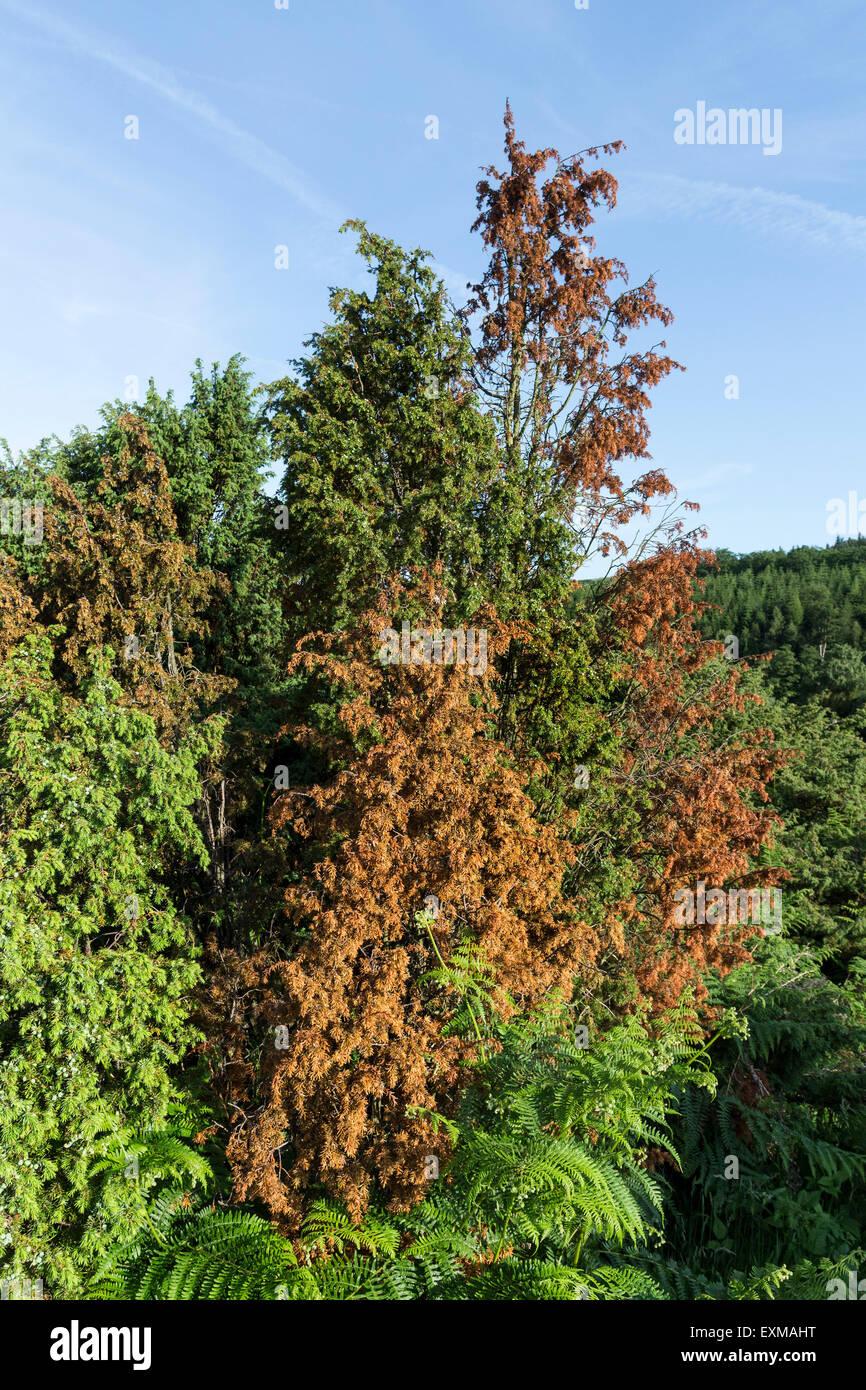 Juniper Tree Juniperus communis Suffering from the Phytophthora austrocedrae Fungal Disease, Upper Teesdale County - Stock Image