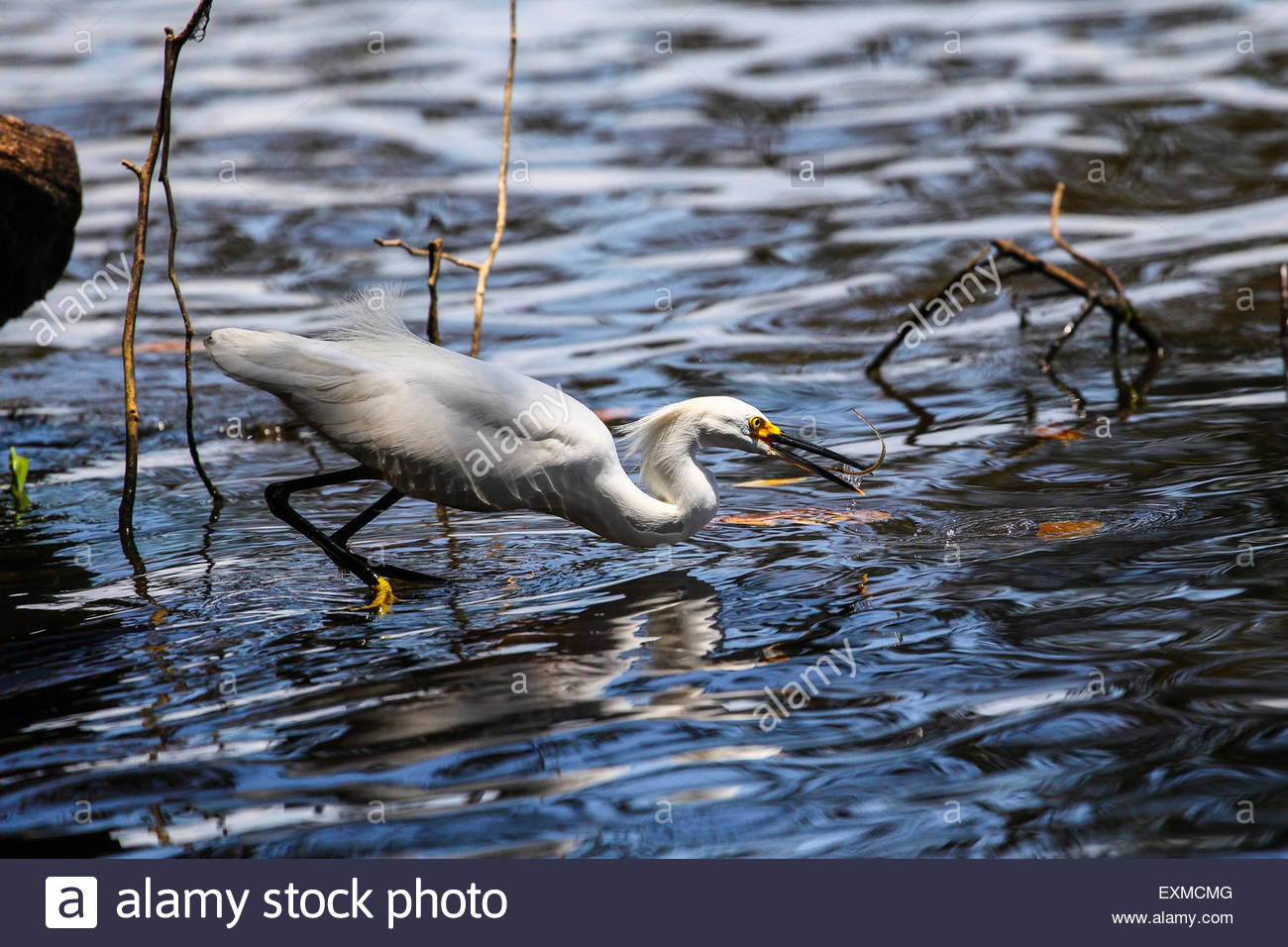 Snowy egret at Tortuguero National Park, Costa Rica. - Stock Image
