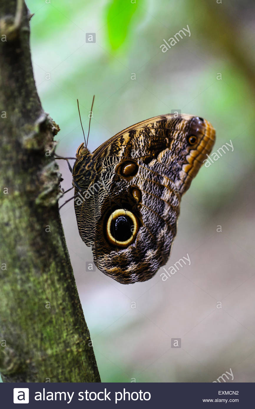 Owl butterfly at Monteverde National Park, Costa Rica - Stock Image