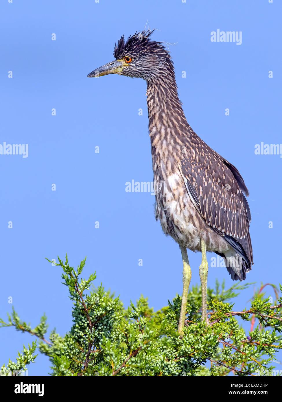Juvenile Black-crowned Night Heron standing i tree tops. - Stock Image