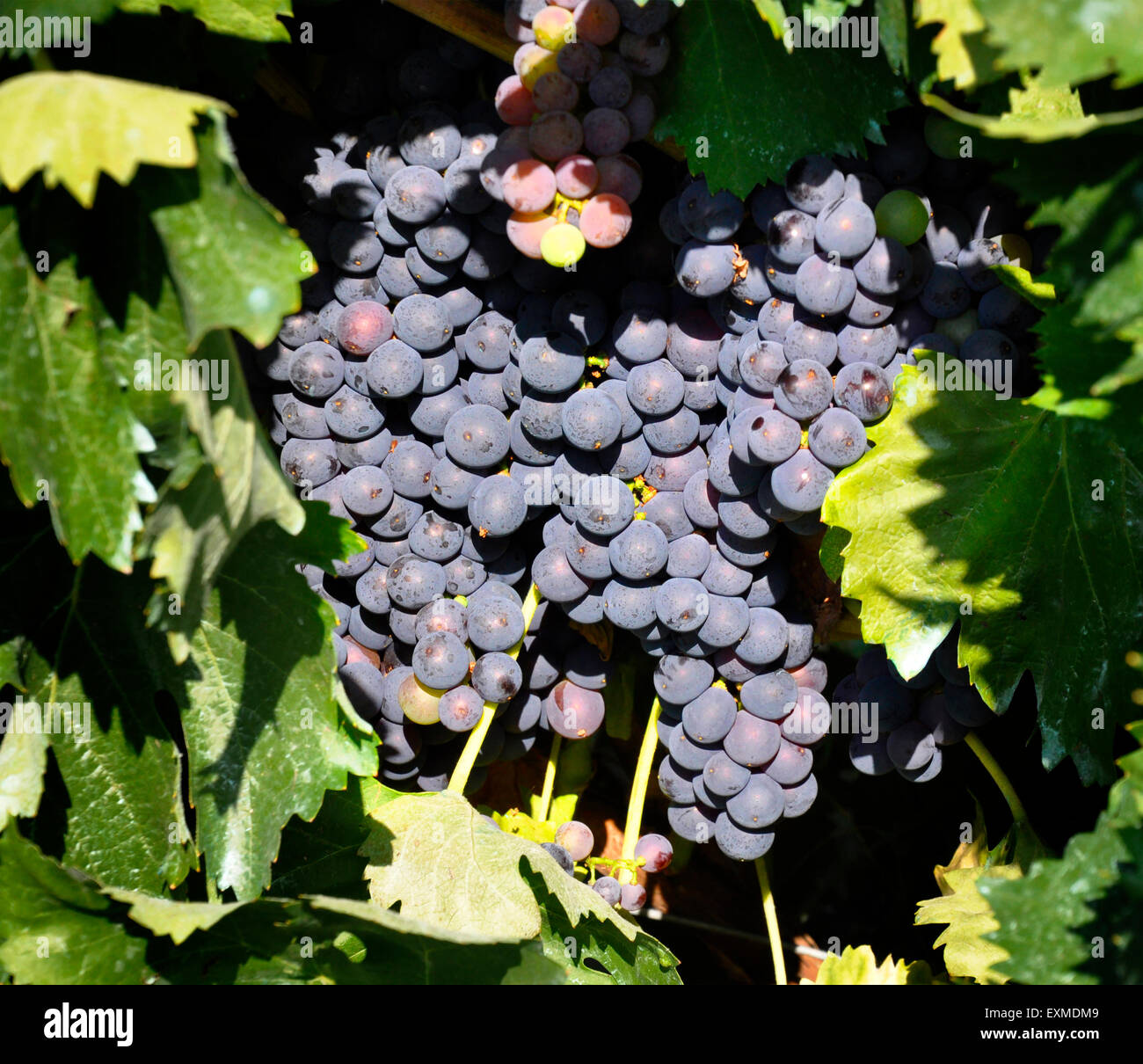 A bunch of grapes hanging on the vine - Stock Image