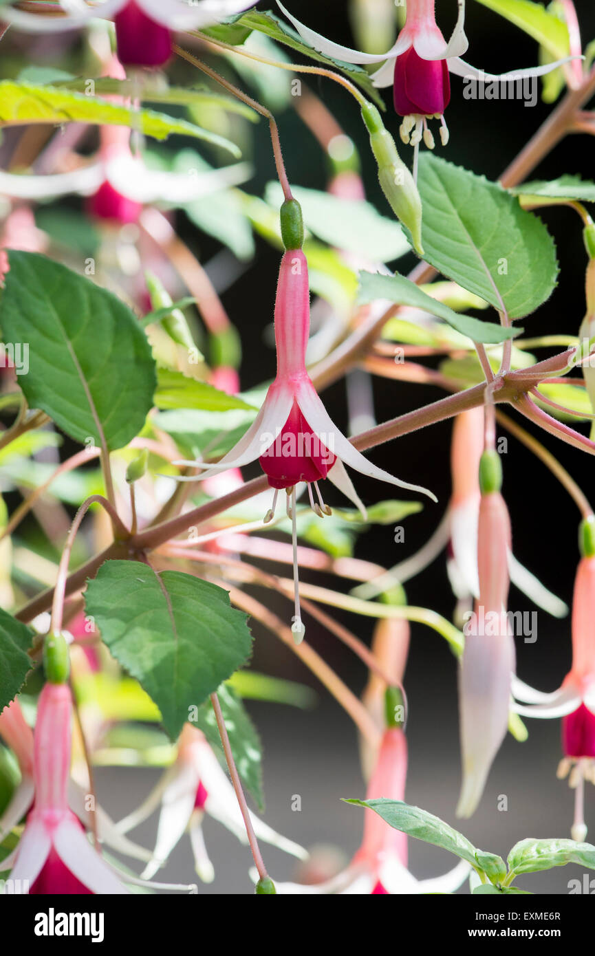 Fuchsia 'Checkerboard' flowers - Stock Image