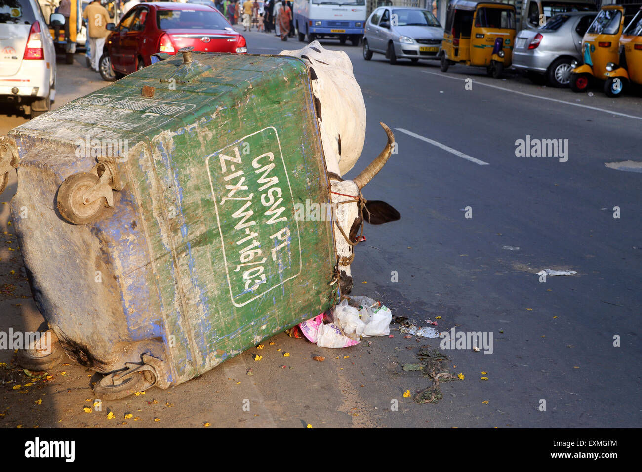 Cow grazing from rubbish skip in Chennai urban street - Stock Image