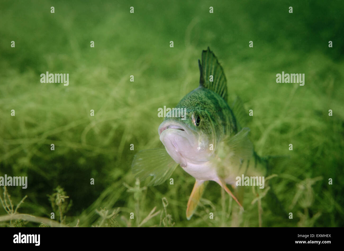 Yellow Perch fish (Perca flavescens) underwater. - Stock Image