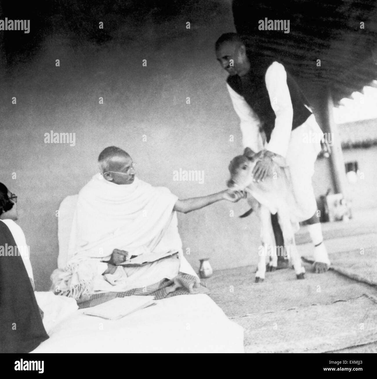 Mahatma Gandhi fondling a newborn four hours old calf ; held by Balwant Singh ; at Sevagram Ashram ; 1937 NO MR - Stock Image