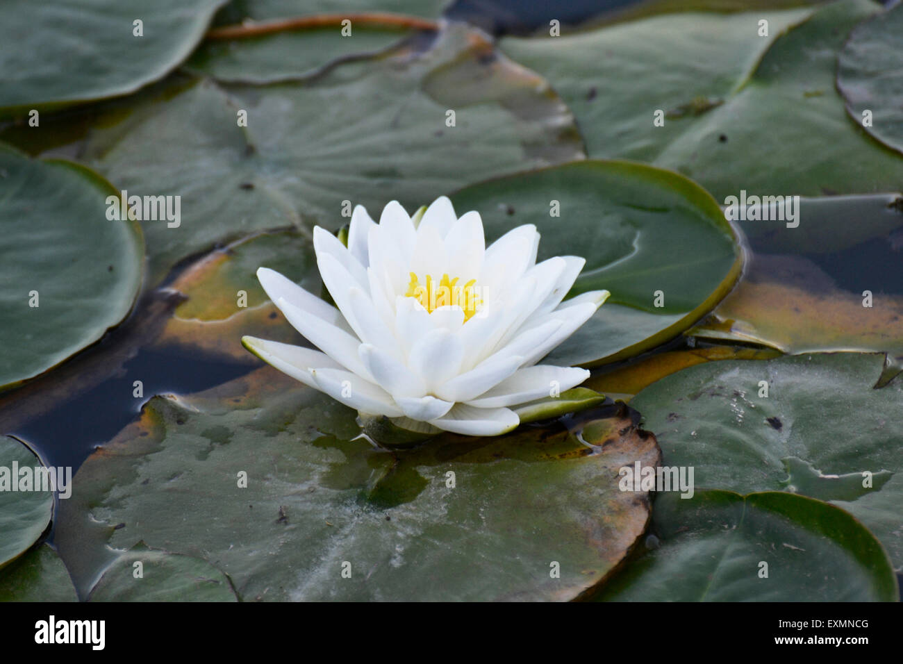Lily pad flower white stock photos lily pad flower white stock this is a flower sitting on a lily pad in the chicago botanic garden izmirmasajfo