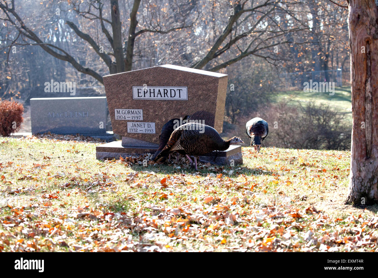 Wild turkeys visiting the Lakewood Cemetery located in the center of the city. Minneapolis Minnesota MN USA - Stock Image