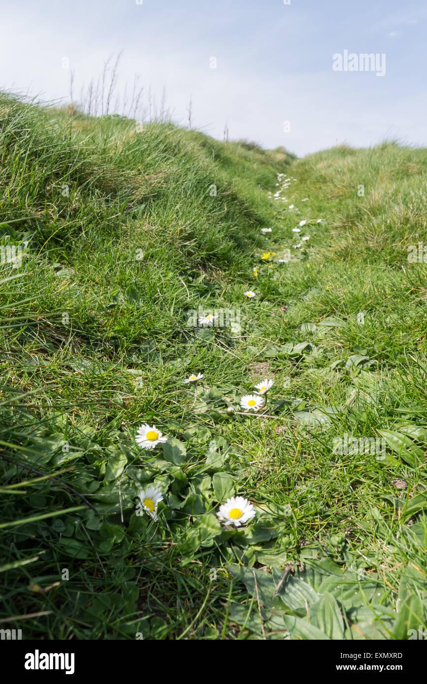 Gunwalloe, Cornwall, England. Climbing path full of daisies. Stock Photo