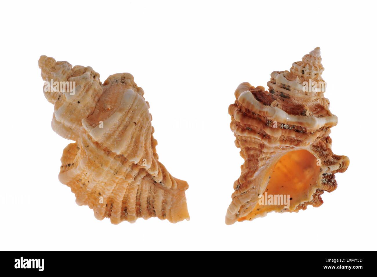 Sting winkle / Oyster drill / Hedgehog Murex (Ocenebra erinacea) shells on white background Stock Photo