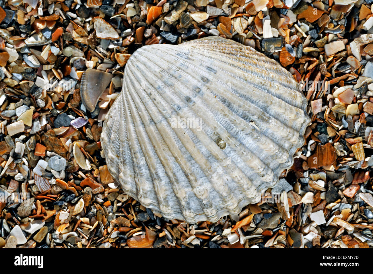 Poorly ribbed cockle (Acanthocardia paucicostata) shell washed on beach - Stock Image
