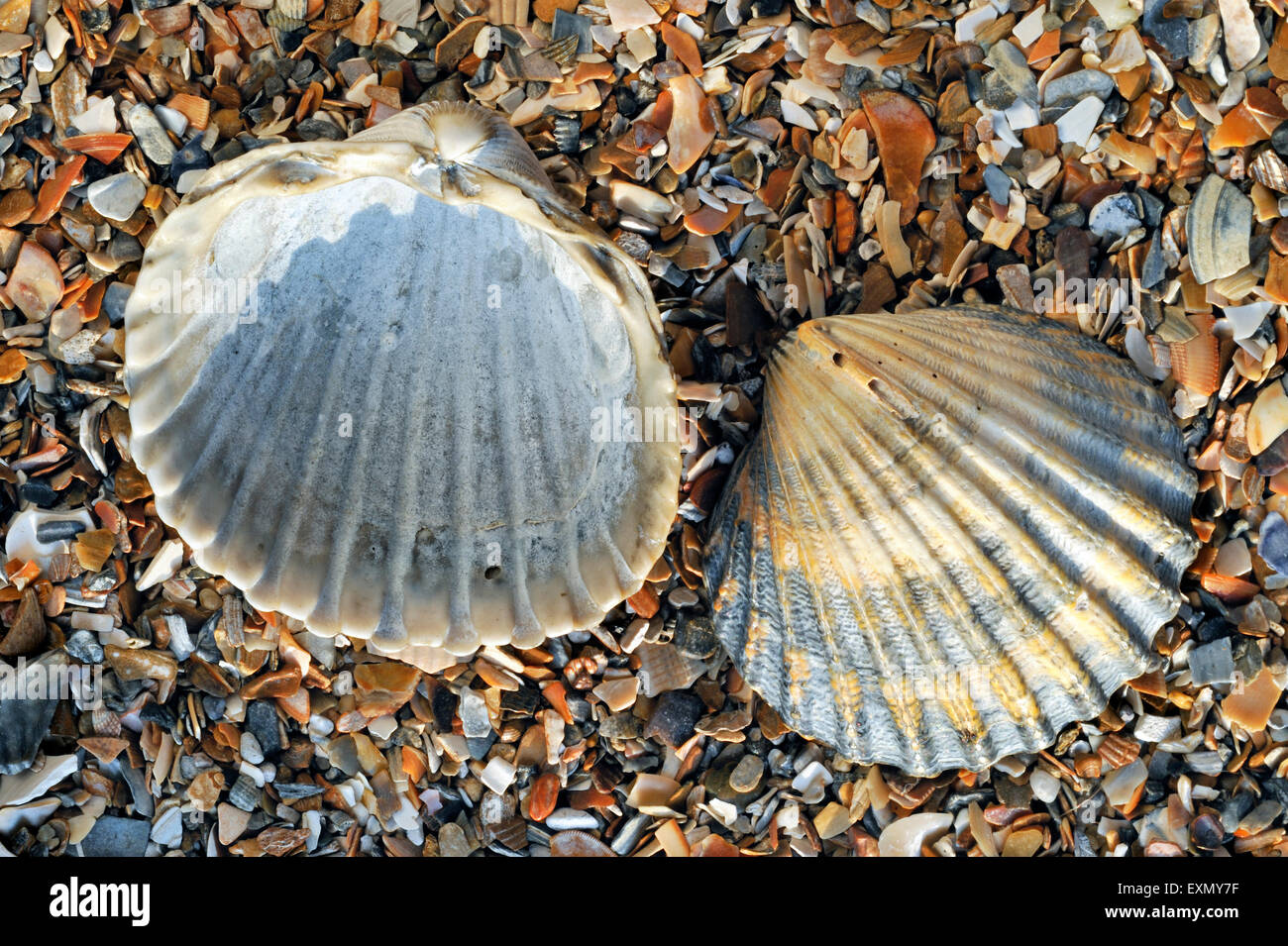 Poorly ribbed cockle (Acanthocardia paucicostata) shells washed on beach - Stock Image