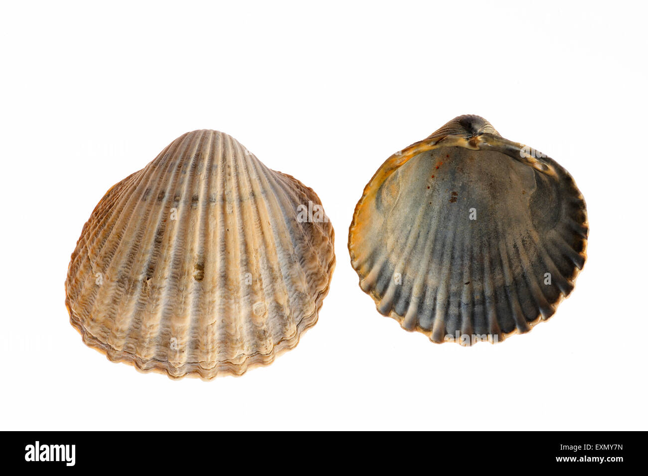 Poorly ribbed cockles (Acanthocardia paucicostata) on white background - Stock Image