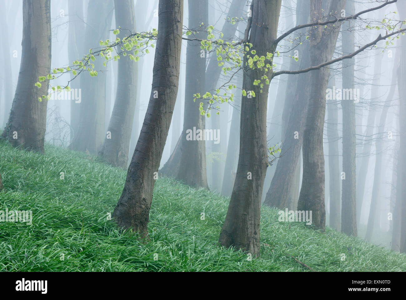 Beech woodland on a misty spring morning. Somerset. UK. Bluebell foliage on woodland floor. - Stock Image