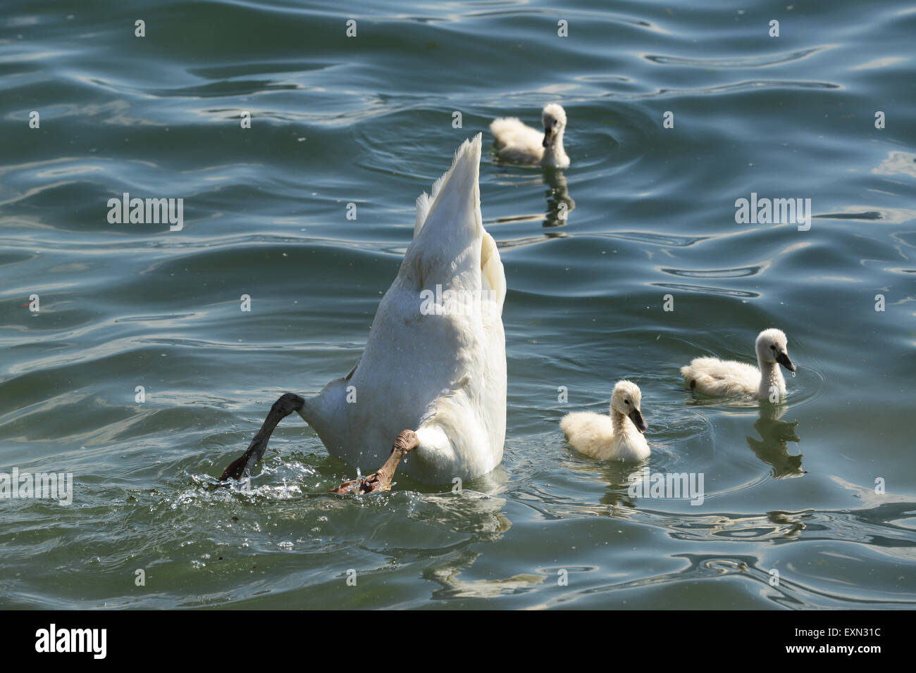 Swan swans with cygnets swimming with their mother feeding bottoms up Stock Photo