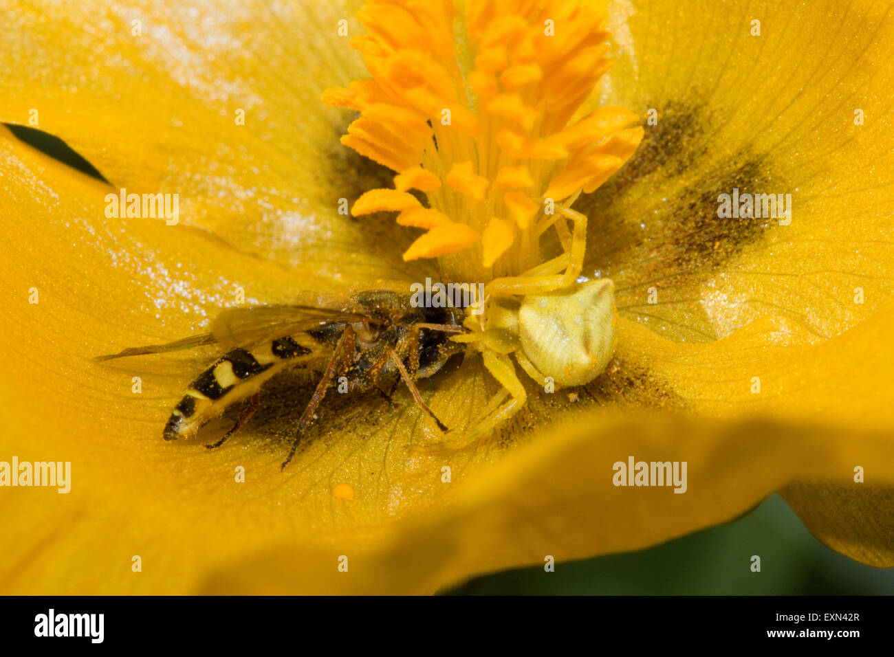 Yellow crab spider (sp) Thomisus onustus, invertebrate eating a hoverfly on a yellow hornpoppy. Lemnos/ Limnos island, - Stock Image