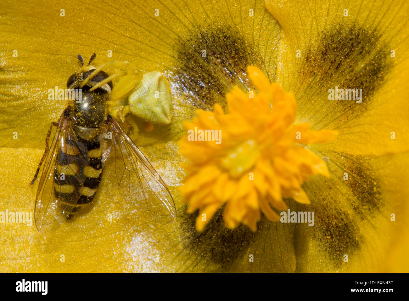 Yellow crab spider (sp) Thomisus onustus, invertebrate eating a hover fly. Lemnos/ Limnos island, Greece. - Stock Image