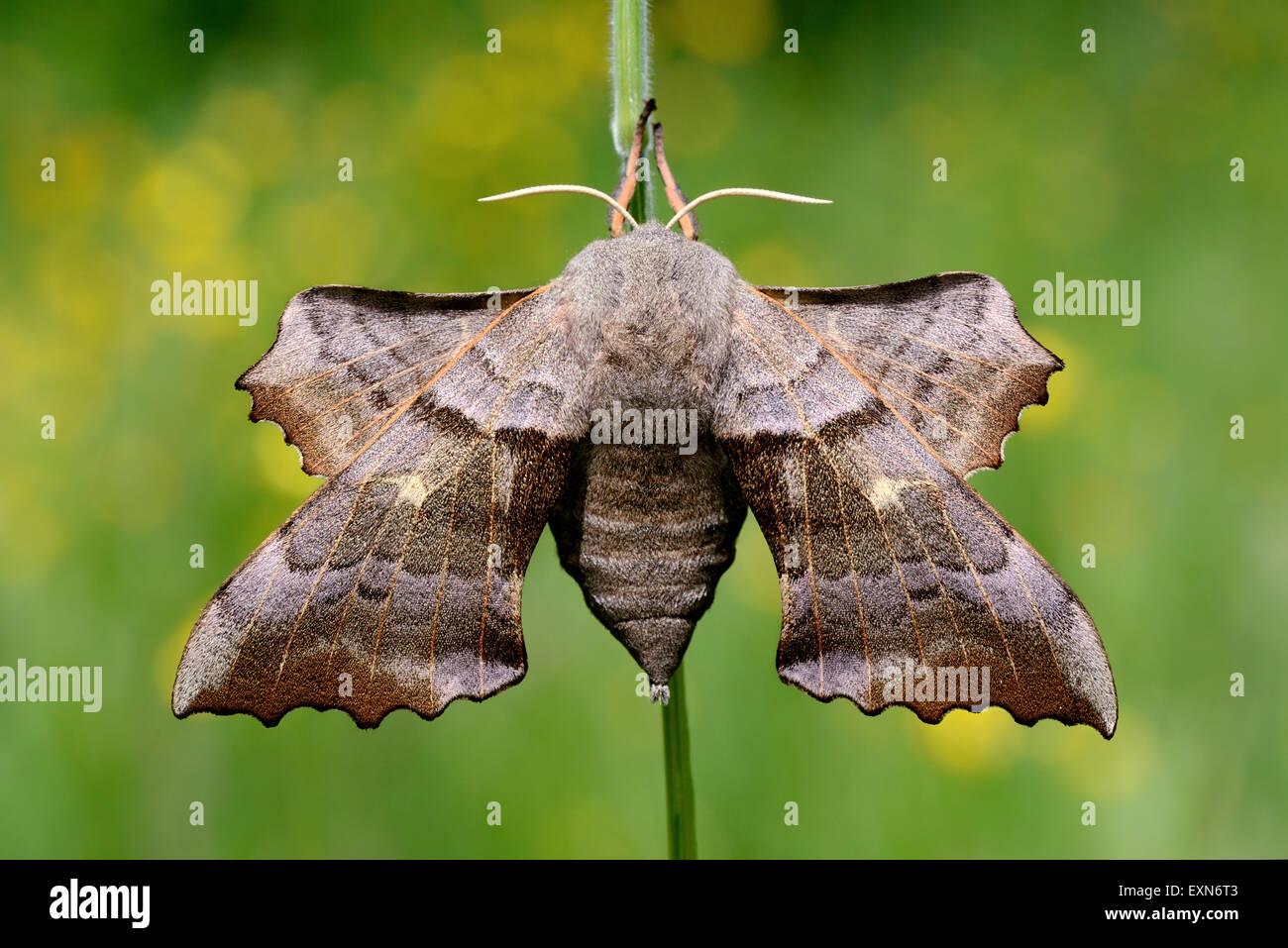Poplar hawk-moth, Laothoe populi - Stock Image