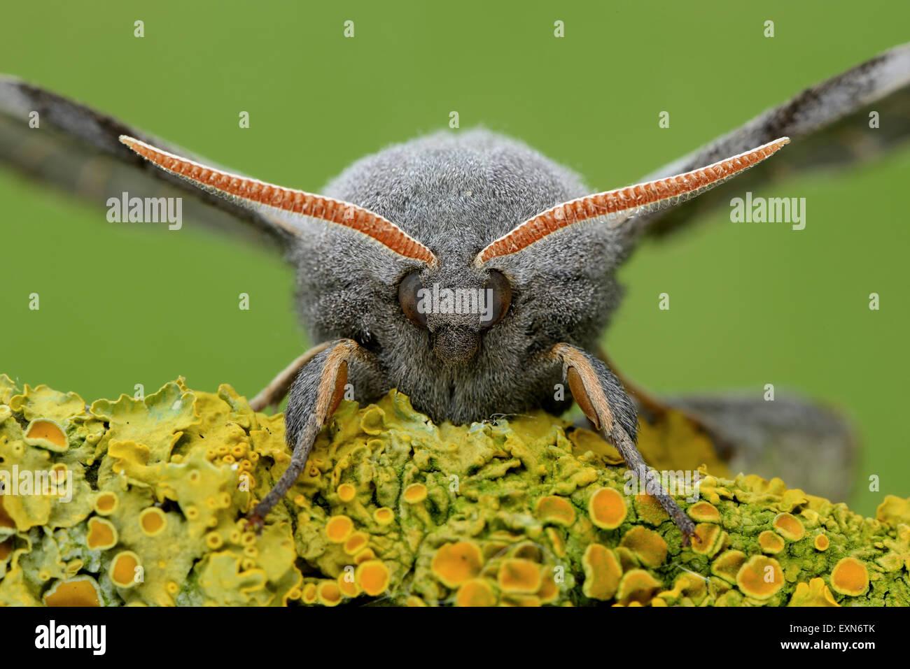 Poplar hawk-moth, Laothoe populi, Portrait - Stock Image
