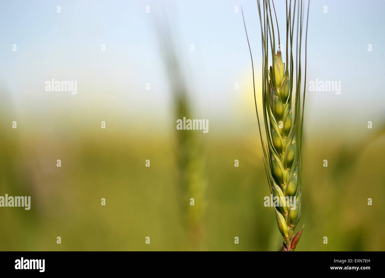 Young green wheat in the field Stock Photo