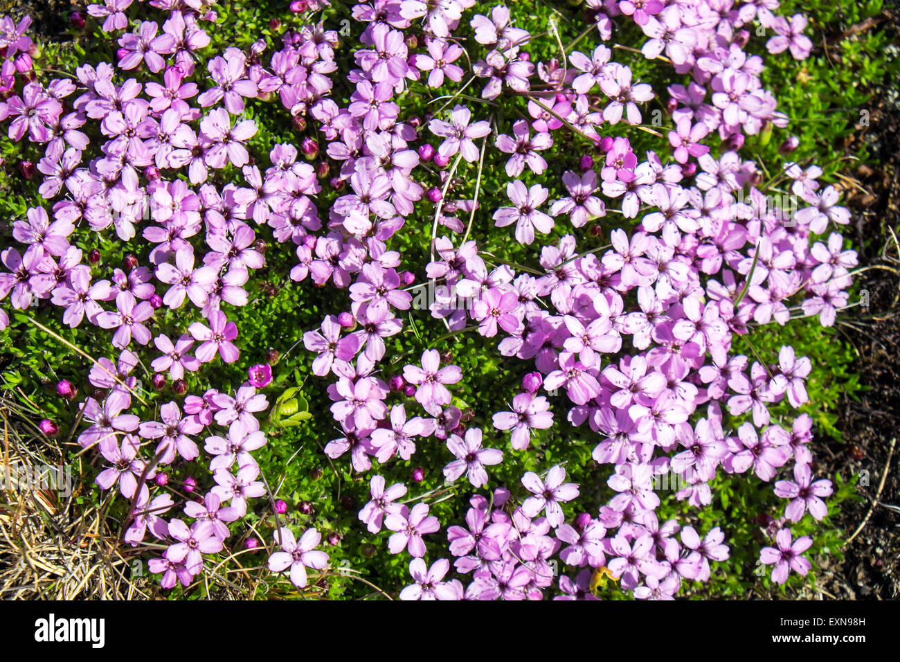 Pink arctic flowers stock photos pink arctic flowers stock images pink moss campion flowers seen in iceland stock image mightylinksfo