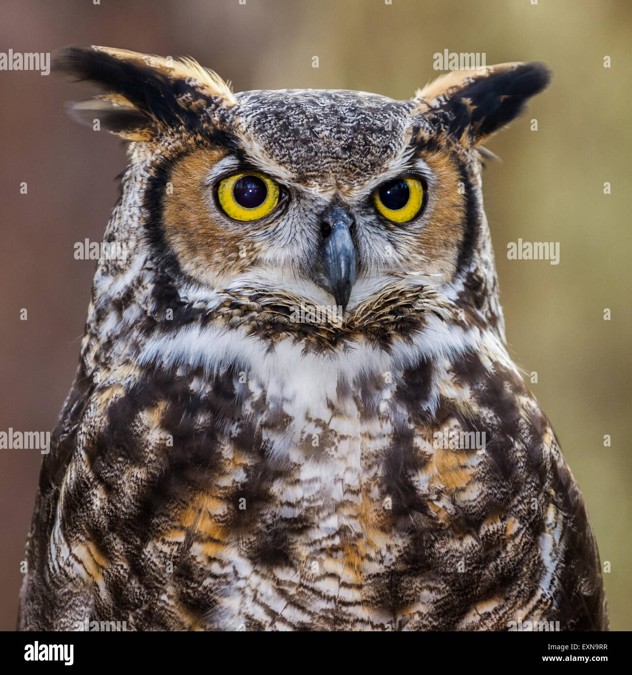 A closeup of a great horned owl. - Stock Image