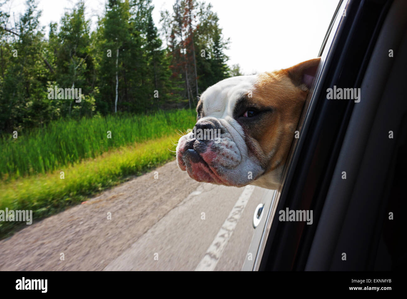 Bulldog sticking his head out of car window - Stock Image