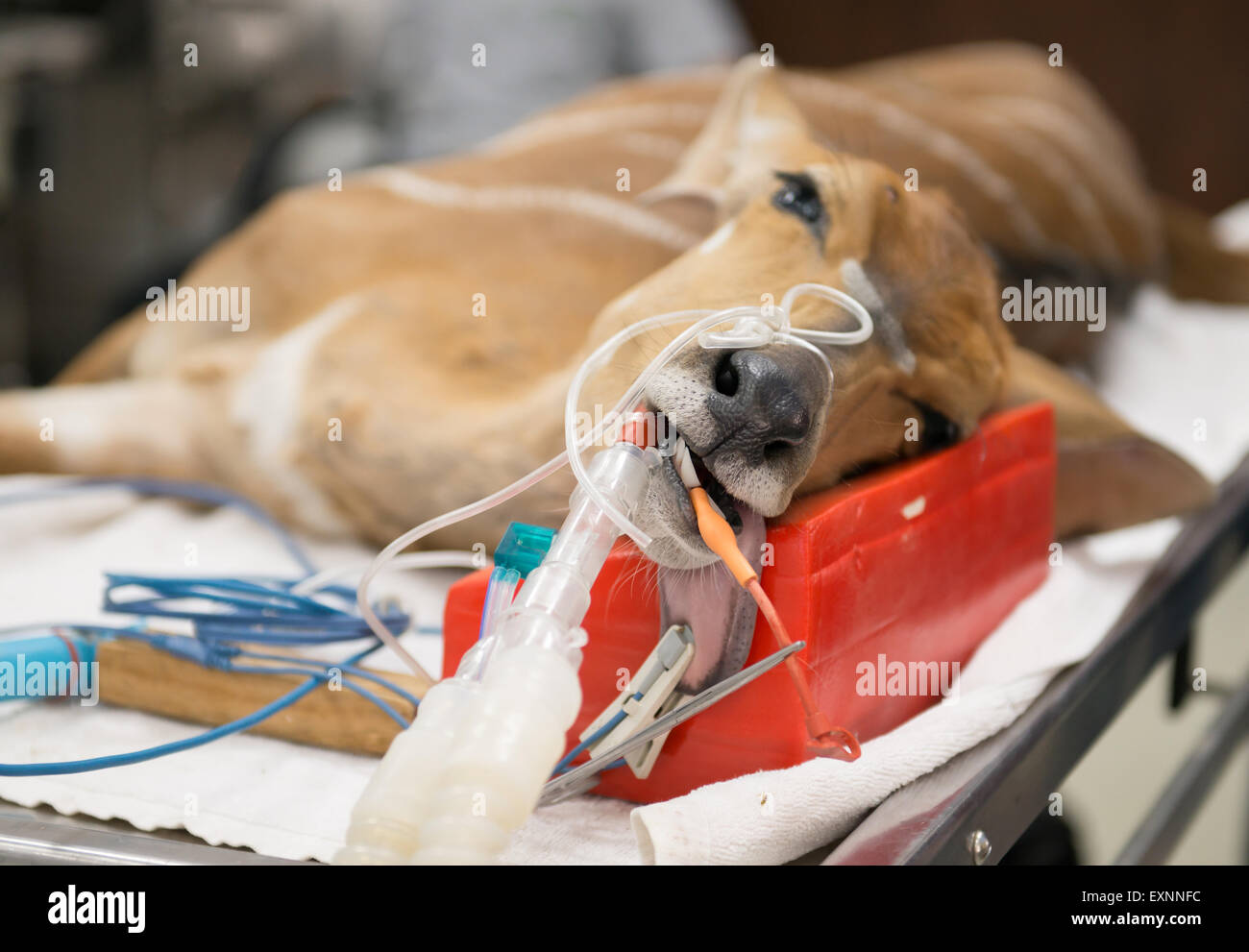Veterinarian performing an operation on a nyala in the operating room - Stock Image