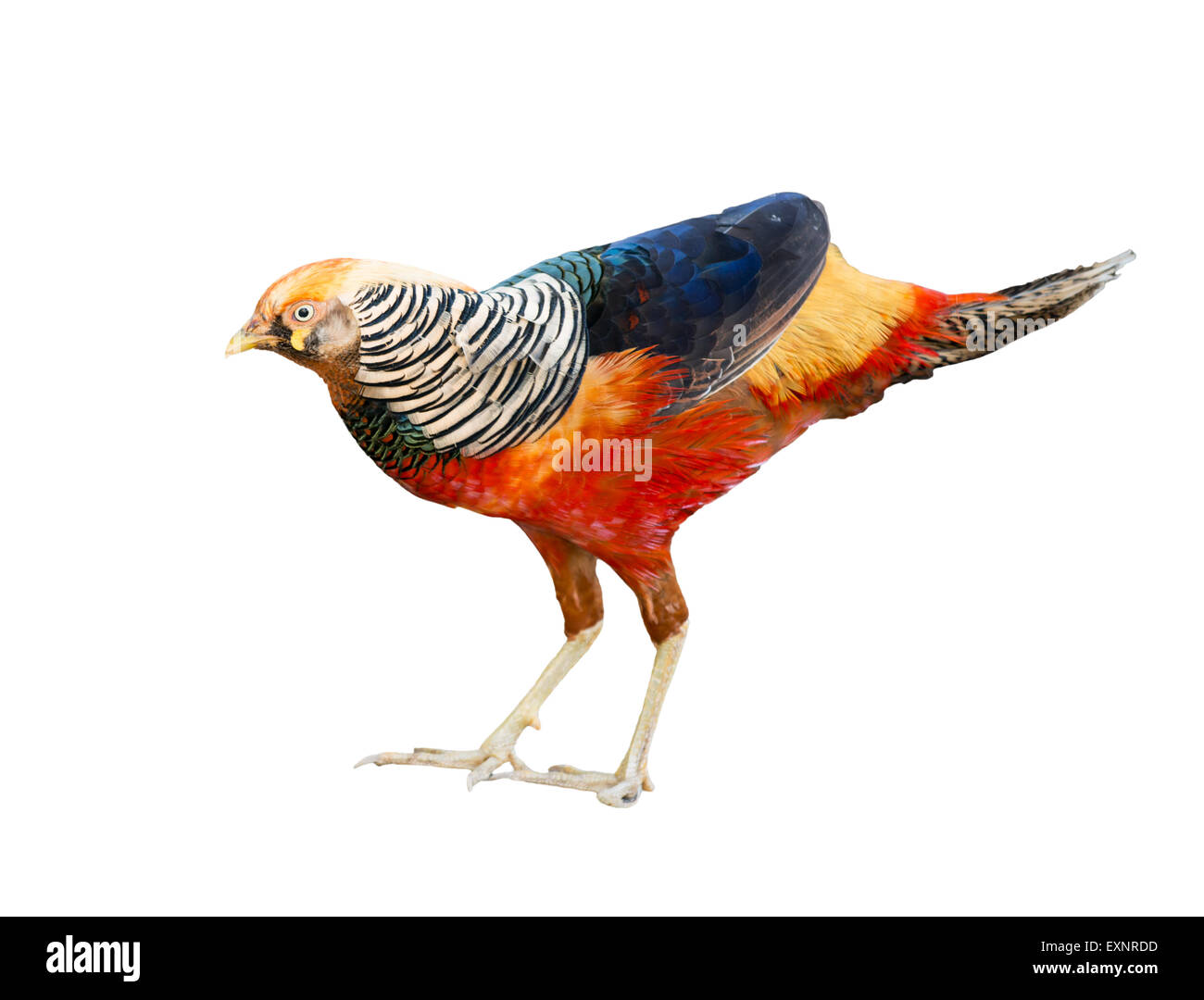 beautiful golden pheasant isolated on white background - Stock Image