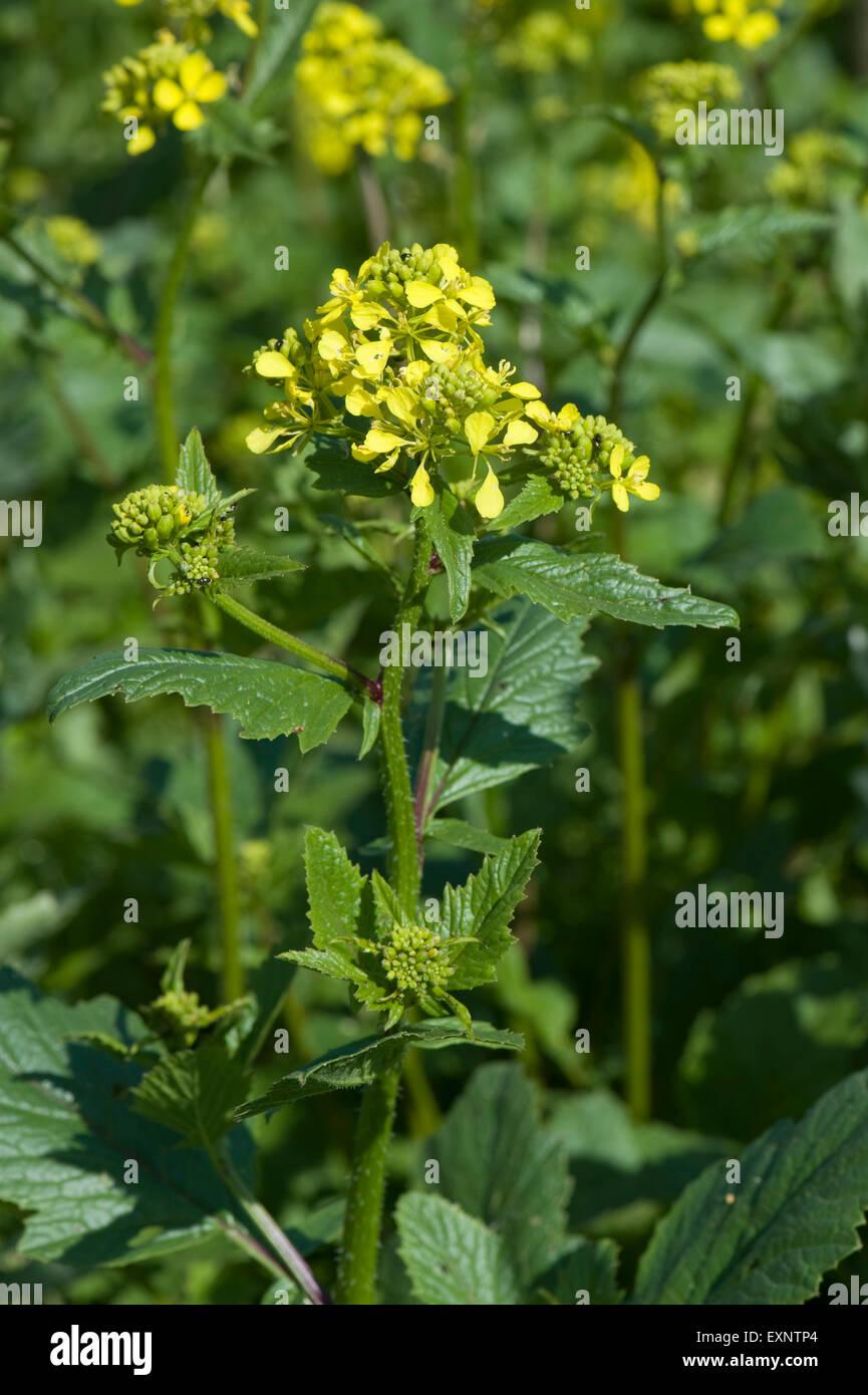 Charlock Wild Mustard Or Field Mustard Sinapis Arvensis Yellow