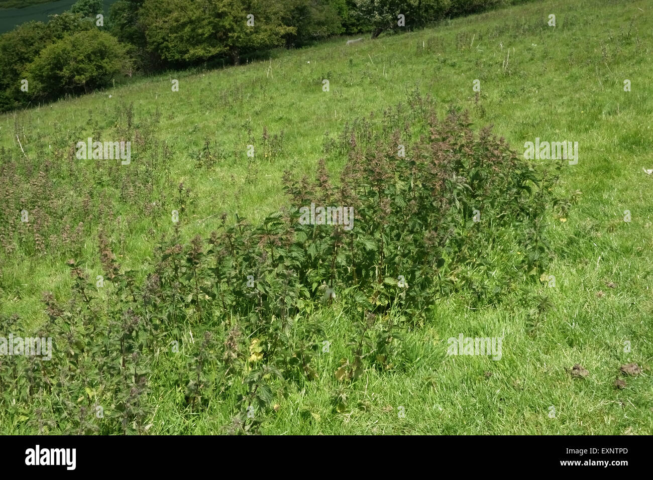 Stinging nettles, Urtica dioica, flowering in downland grass pasture in summer, Berkshire, June - Stock Image