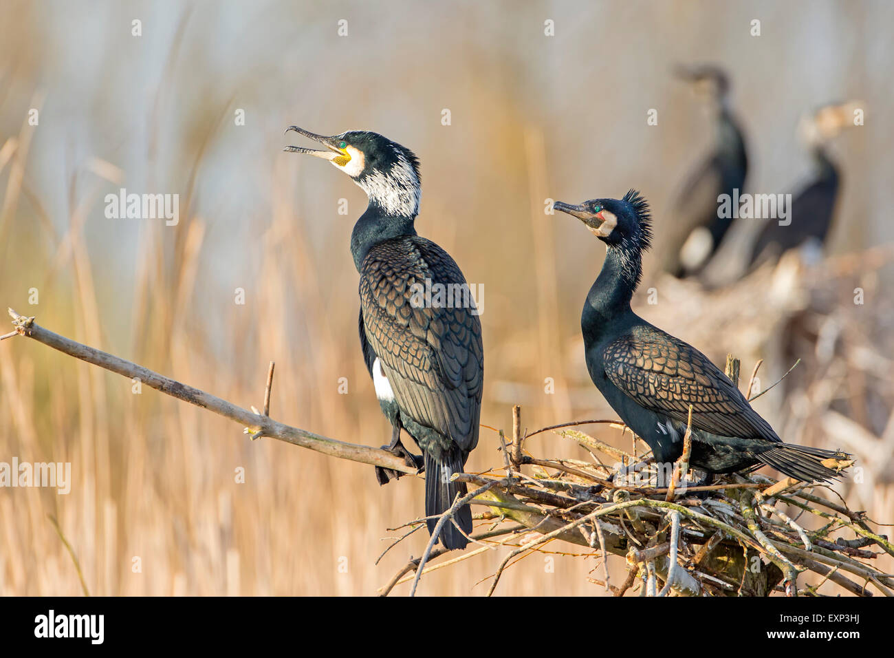 Great Cormorants (Phalacrocorax carbo) at the nest, breeding colony, Middle Elbe Biosphere Reserve, Saxony-Anhalt, - Stock Image