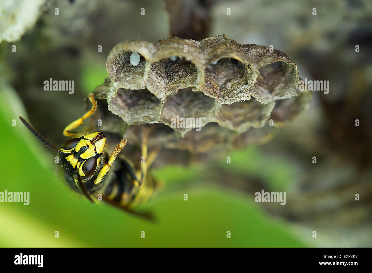 Common Wasp (Vespula vulgaris), brood comb with egg, Saxony-Anhalt, Germany Stock Photo