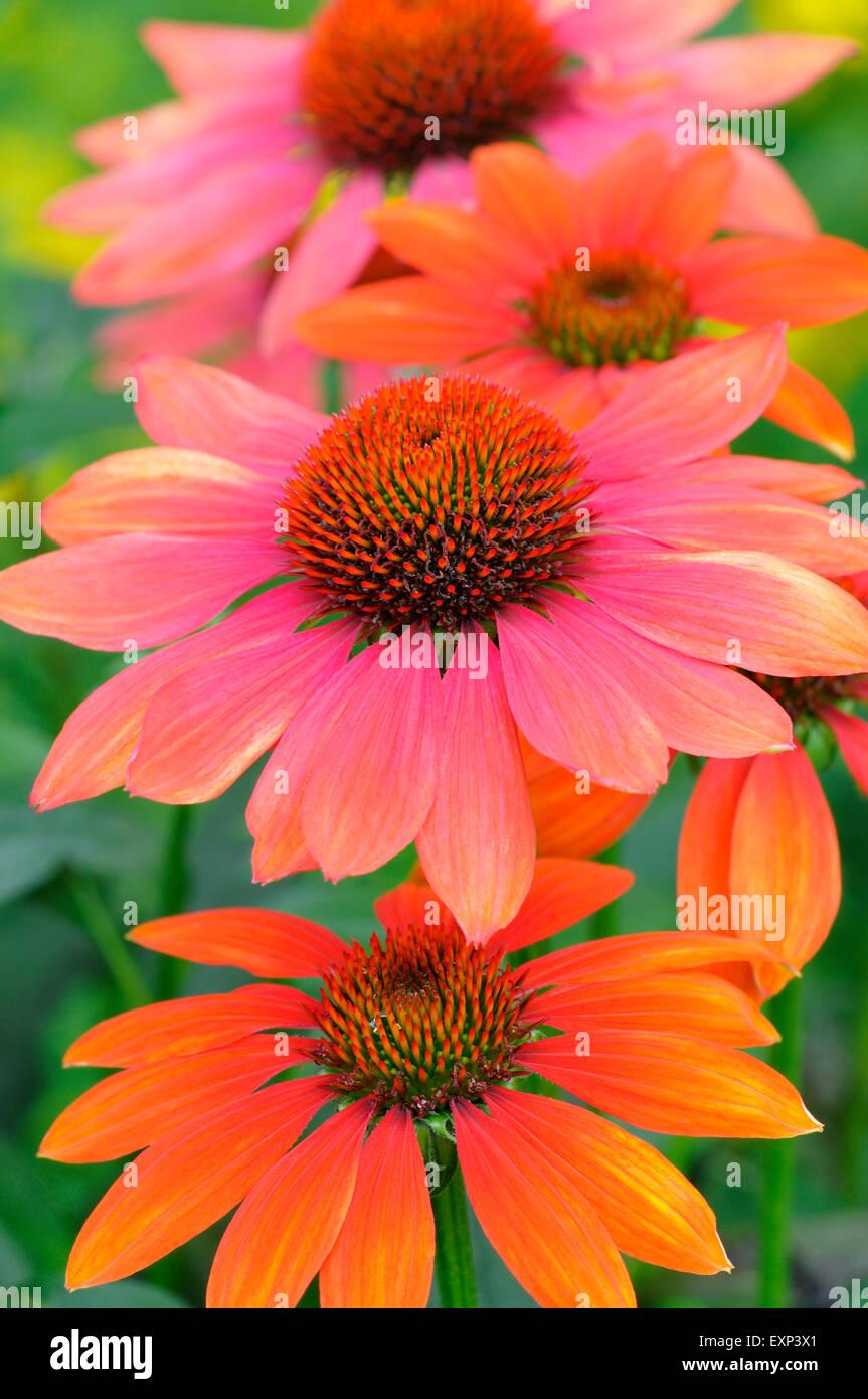 Coneflower (Echinacea sp.) hybrid, Hot Summer variety, North Rhine-Westphalia, Germany - Stock Image