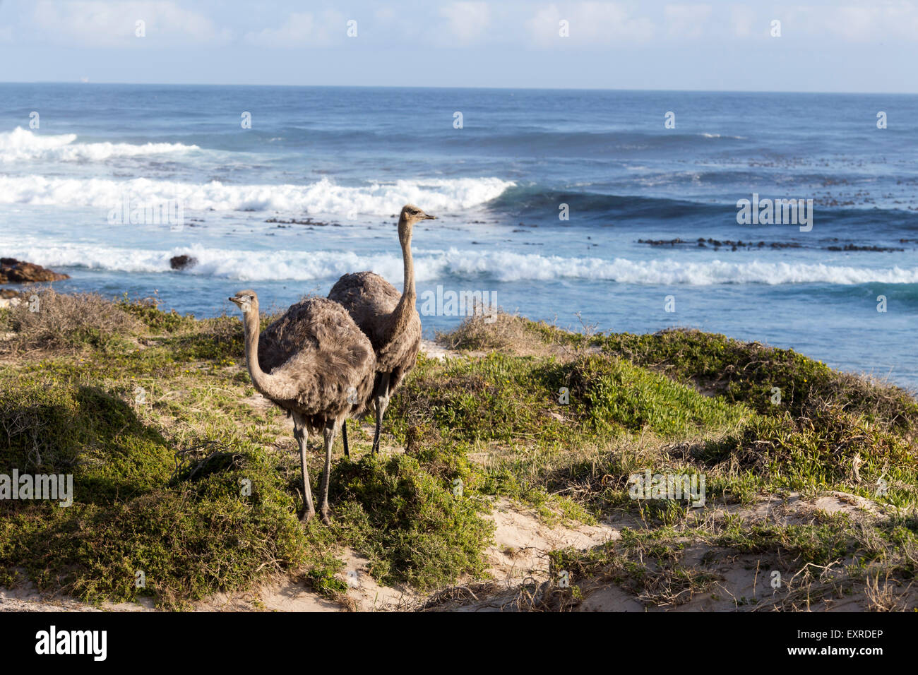 Ostriches near Cape of Good Hope , South Africa - Stock Image