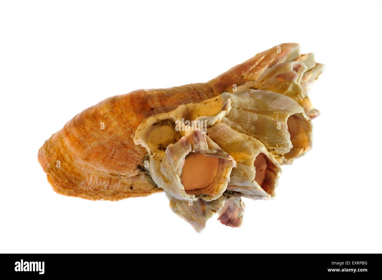 Acorn barnacle (Megabalanus tintinnabulum) growing on American slipper limpet (Crepidula fornicata) on white background Stock Photo