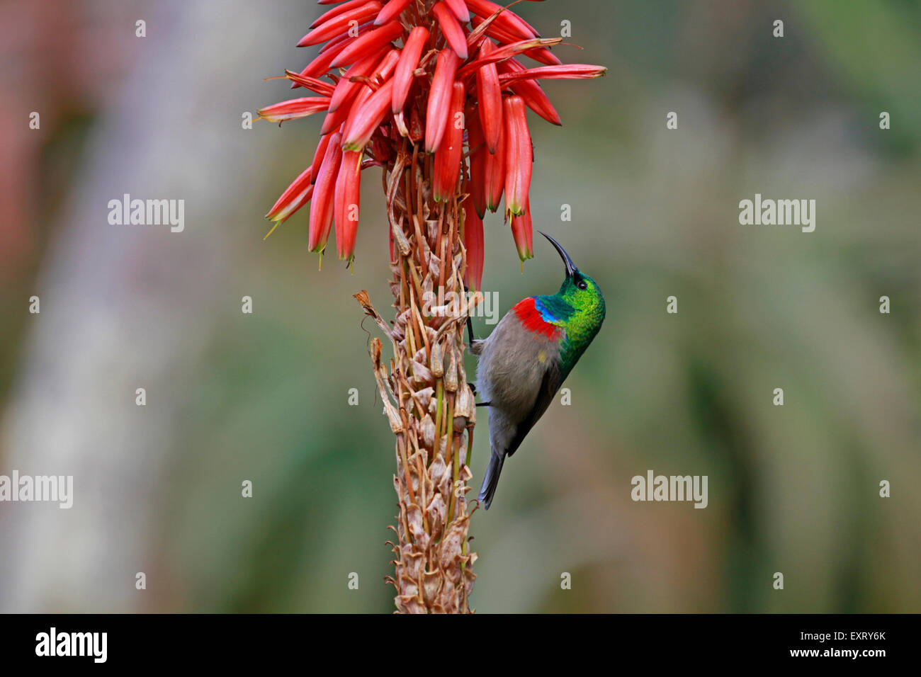 A  southern double-collared sunbird or lesser double-collared sunbird (Cinnyris chalybeus) pollinating a Aloe flower. - Stock Image