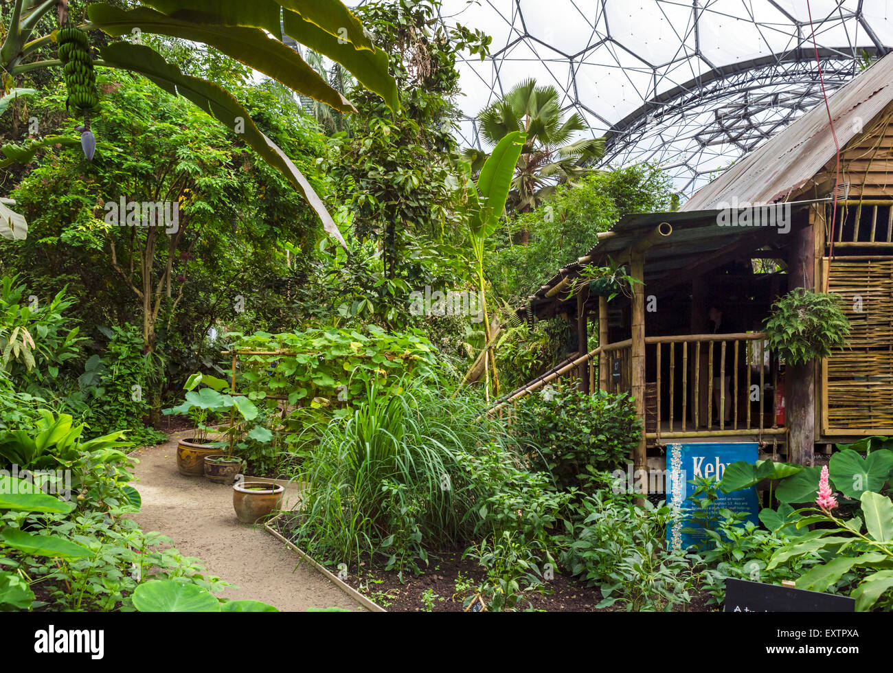 Interior of Rainforest Biome at the Eden Project, Bodelva, near St Austell, Cornwall, England, UK - Stock Image