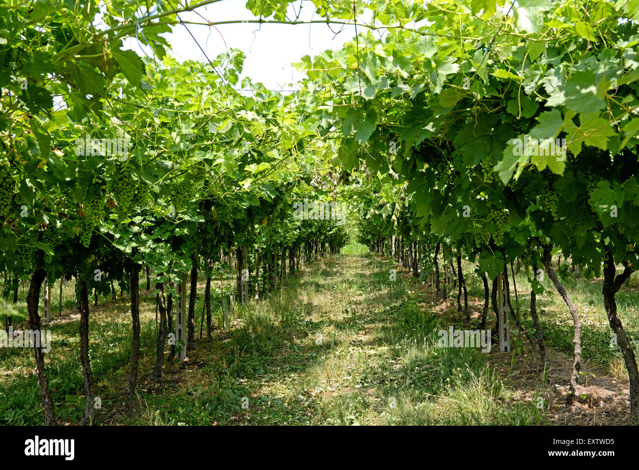 Rows of trellised vines in a vineyard - Stock Image