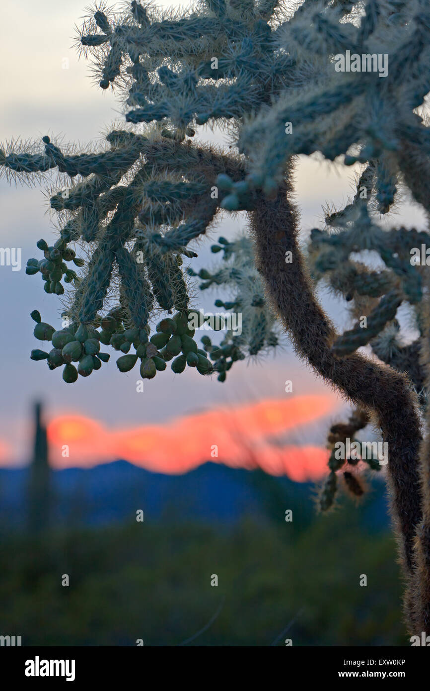 Chain fruit cholla cactus, Opuntia fulgida, at sunset in Organ Pipe National Monument, Arizona, USA - Stock Image