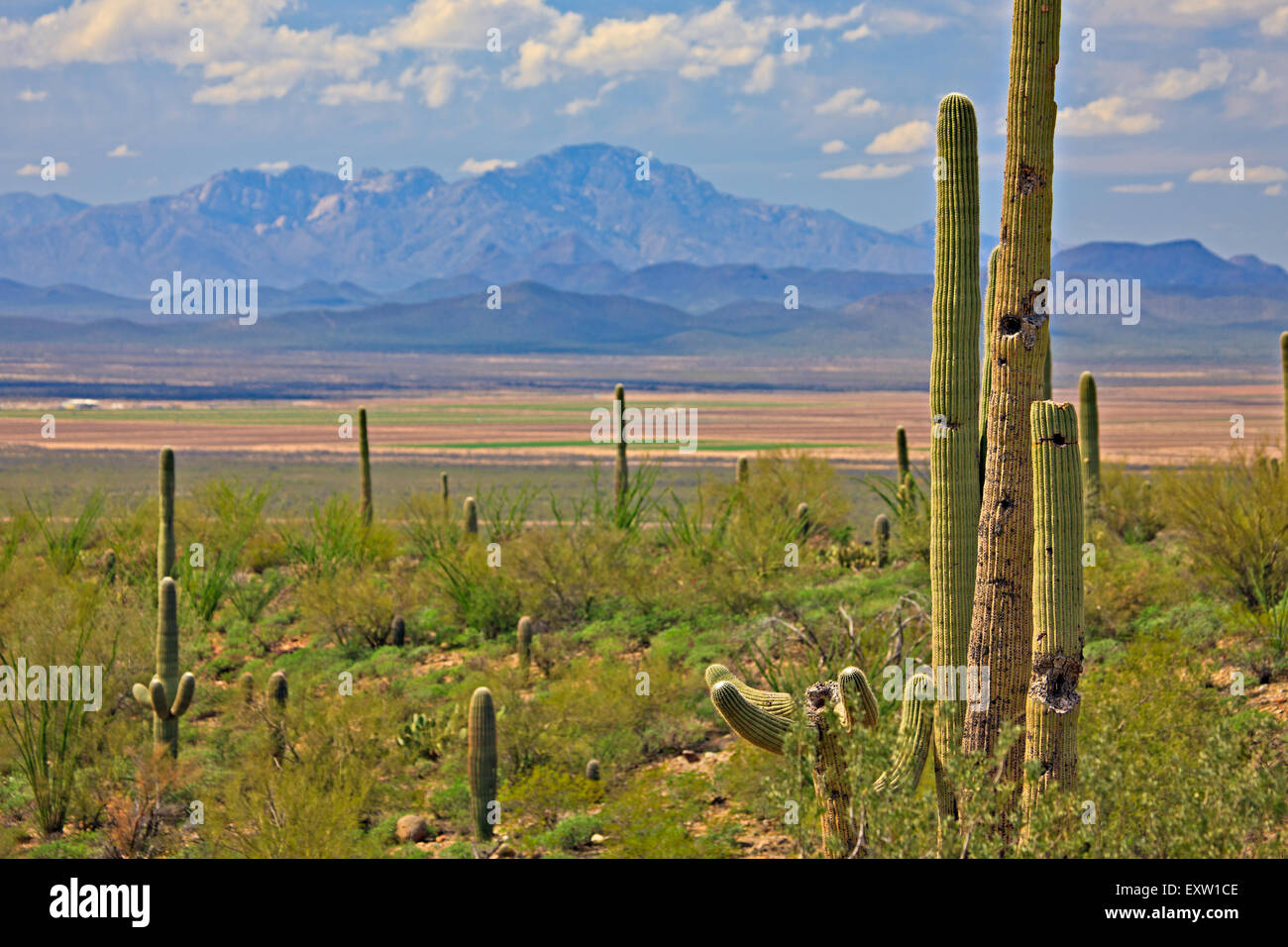 Desert landscape with Saguaros seen from Arizona-Sonora Desert Museum, Tucson, Arizona, USA - Stock Image